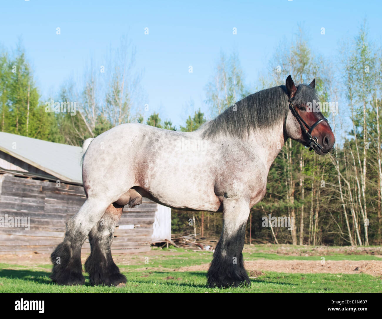 exterior of Belgian draught horse. - Stock Image