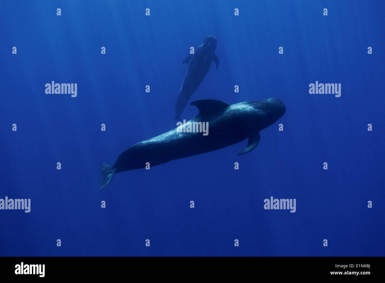 Two pilot whales - mother and calf - examining the human intruder off Funchal, Madeira island, Portugal - Stock Image