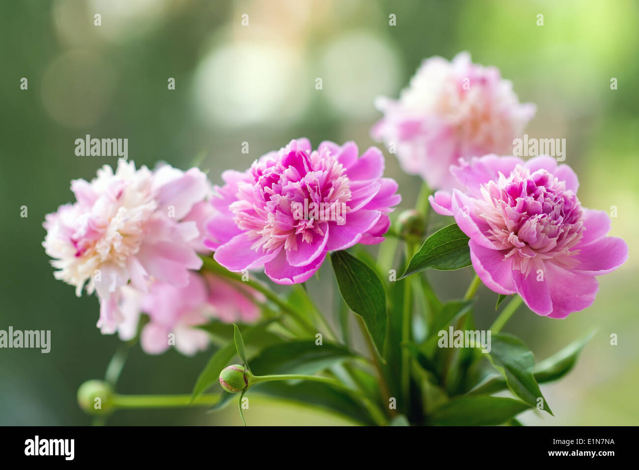 Closeup photo of flowers (peonies). Shallow depth of field - Stock Image