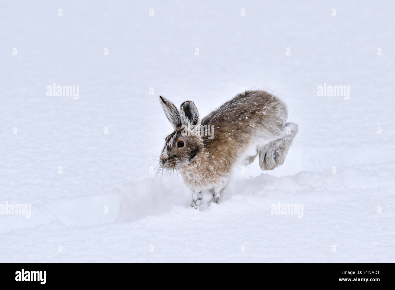 A snowshoe hare hopping along in the freshly falling snow - Stock Image
