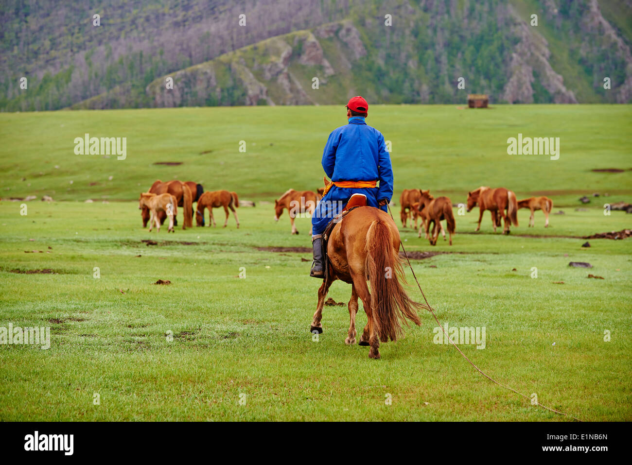 Mongolia, Ovorkhangai province, Orkhon valley, Nomad camp, Rallying of horses drove with Dorjdagva - Stock Image