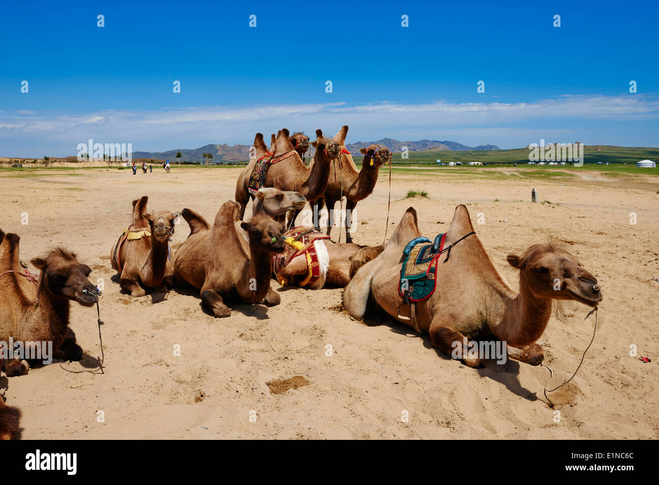 Mongolia, Ovorkhangai province, camel for tourist at Batkhan national parc Stock Photo