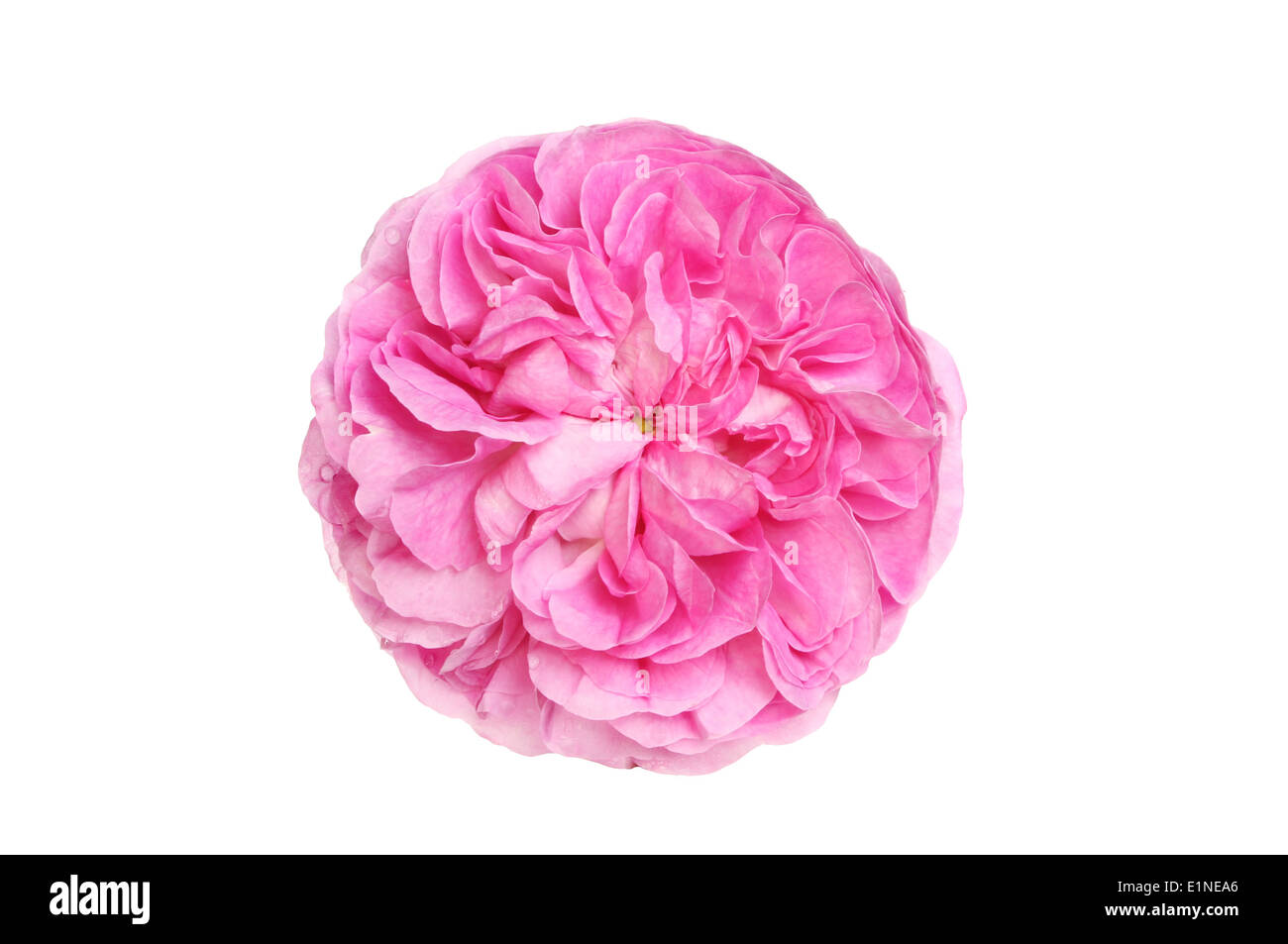Round flowerhead of a magenta rose isolated against white - Stock Image