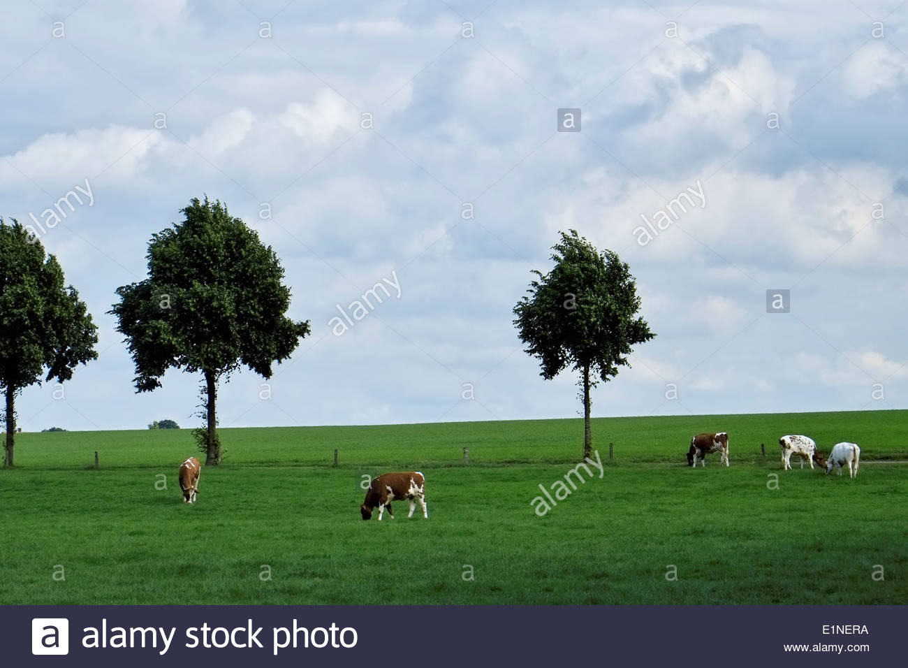 Young cattle graze in a field near the moated Raesfeld Castle in the Münsterland region of northern Germany. - Stock Image