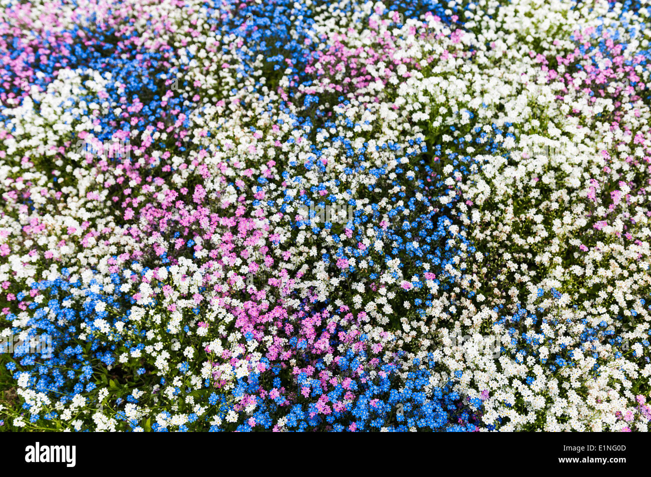 White Pink And Blue Forget Me Not Flowers In A Park Flowerbed Stock