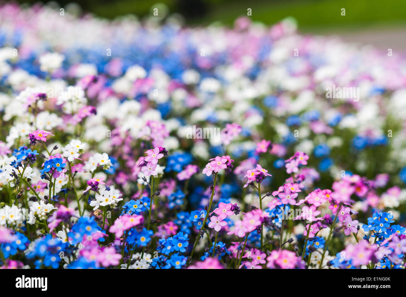 Pink myosotis stock photos pink myosotis stock images alamy white pink and blue forget me not flowers in a park flowerbed stock image mightylinksfo