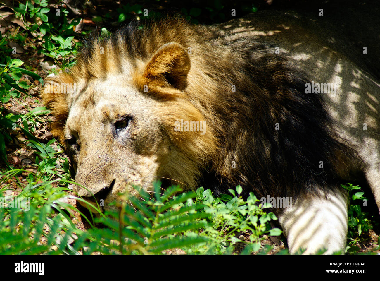 Lion laying down Panthera leo persica or Asiatic lion Indian Lion head closeup view - Stock Image