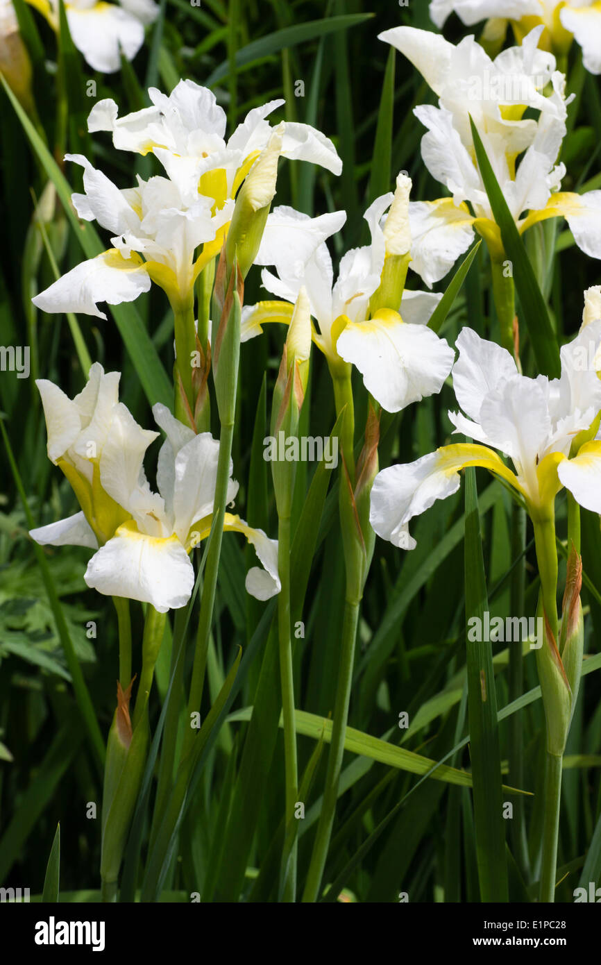 White and yellow flowers of the siberian iris iris sibirica white white and yellow flowers of the siberian iris iris sibirica white swirl izmirmasajfo Choice Image