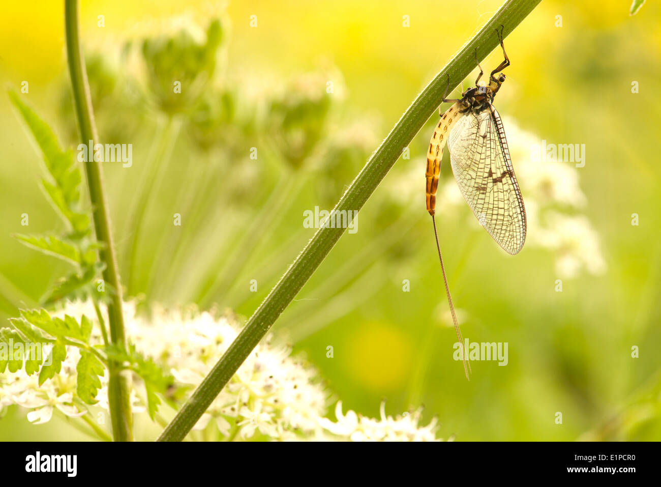adult mayfly drying its wings - Stock Image