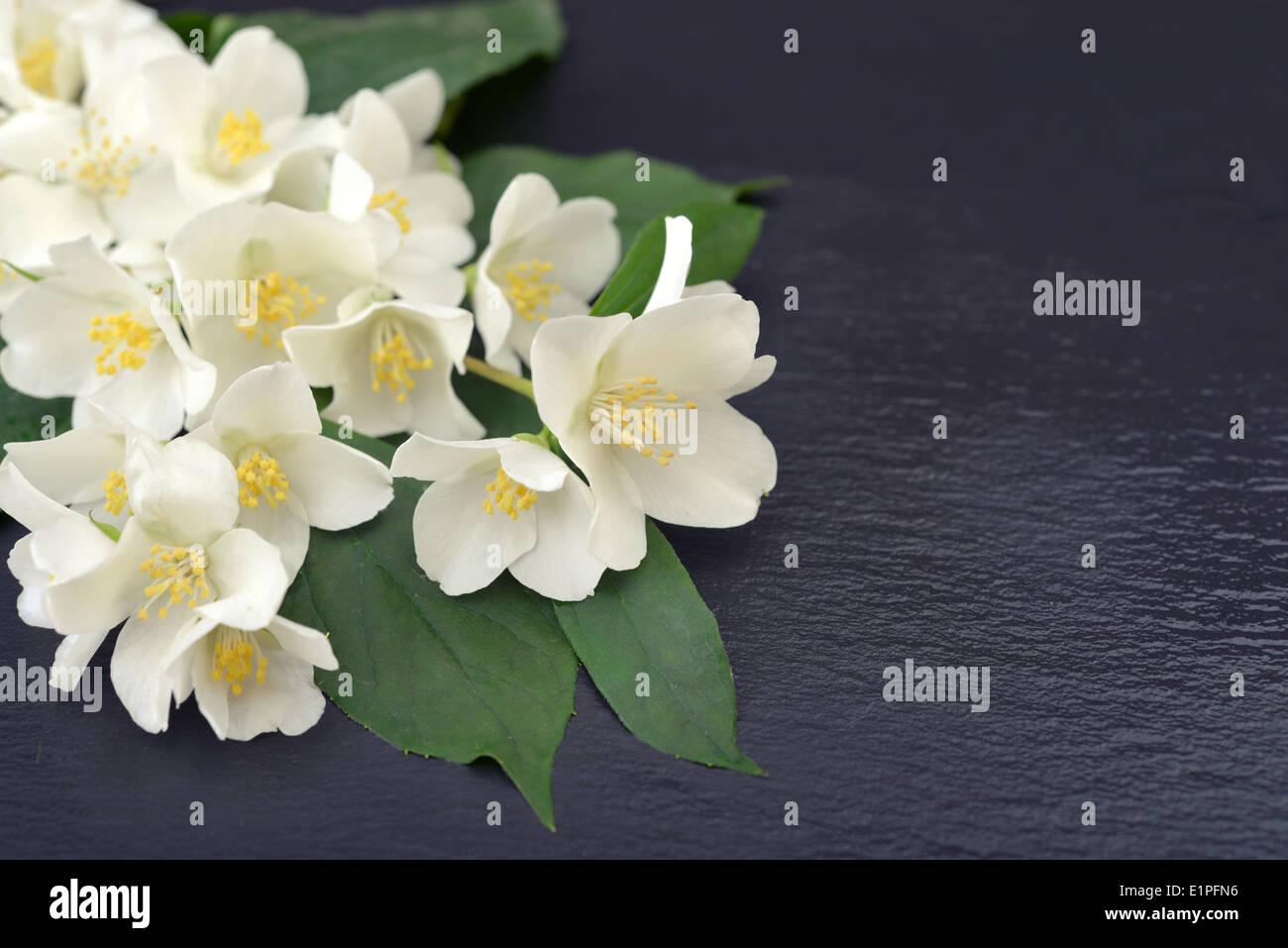 Bouquet of jasmine flowers on wet graphite background - Stock Image