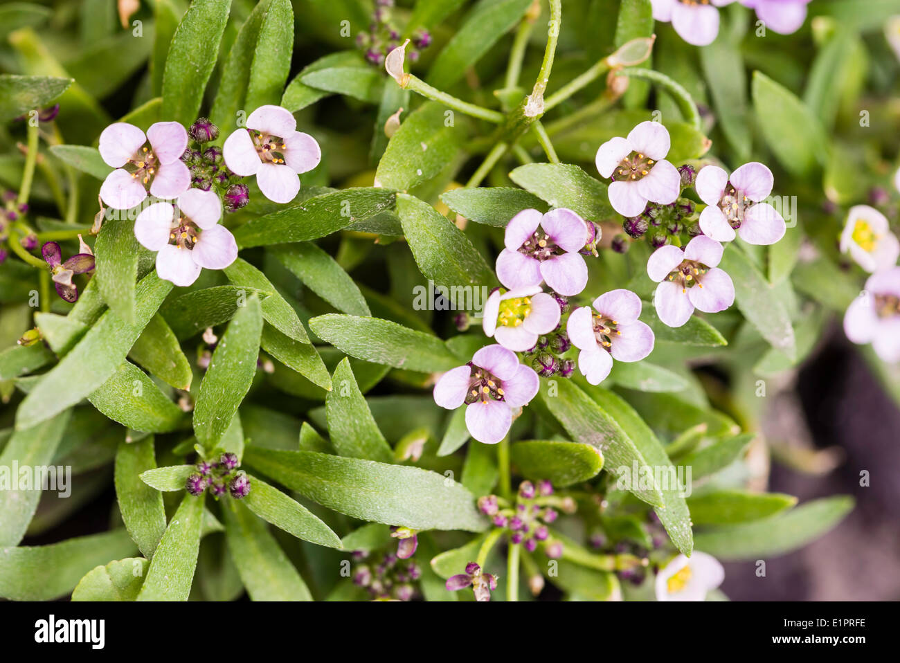 Little Pink Flowers With Four Petals In A Garden Stock Photo