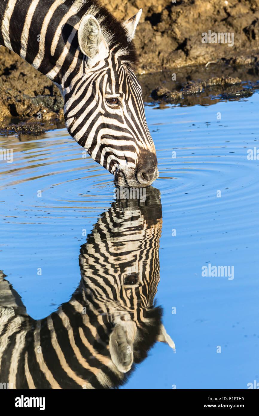 Zebra animal drinking waterhole with mirror double head neck portrait reflections in wildlife park reserve. - Stock Image