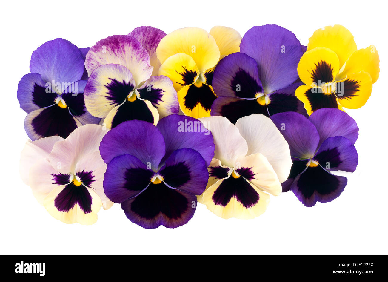 Beautiful pansies isolated over white. - Stock Image