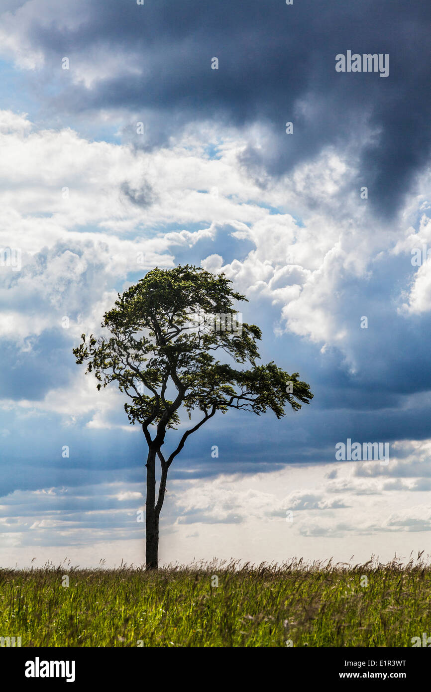 A lone beech tree (Fagus) against a stormy sky. - Stock Image
