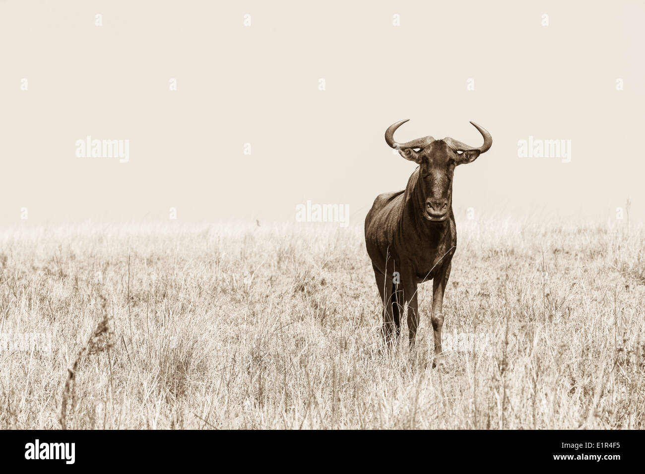 Bull Wildebeest bull wildlife animal alone  plateau in sepia tone vintage photo - Stock Image