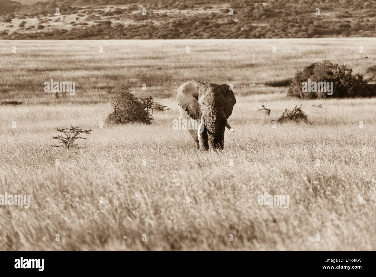 Bull Elephant animal crossing grassland wildlife reserve plateau in sepia tone vintage photo - Stock Image