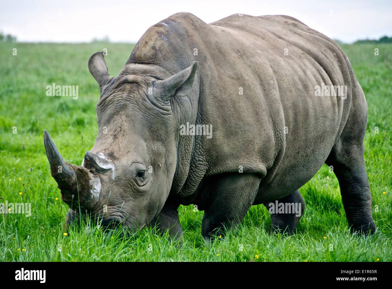 A Rhinoceros on grass - Stock Image