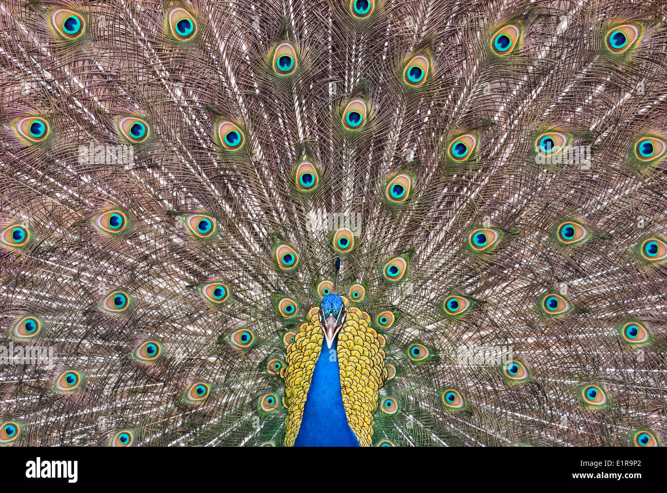 Symmetric front view picture of an Indian Peafowl, whil showing off - Stock Image