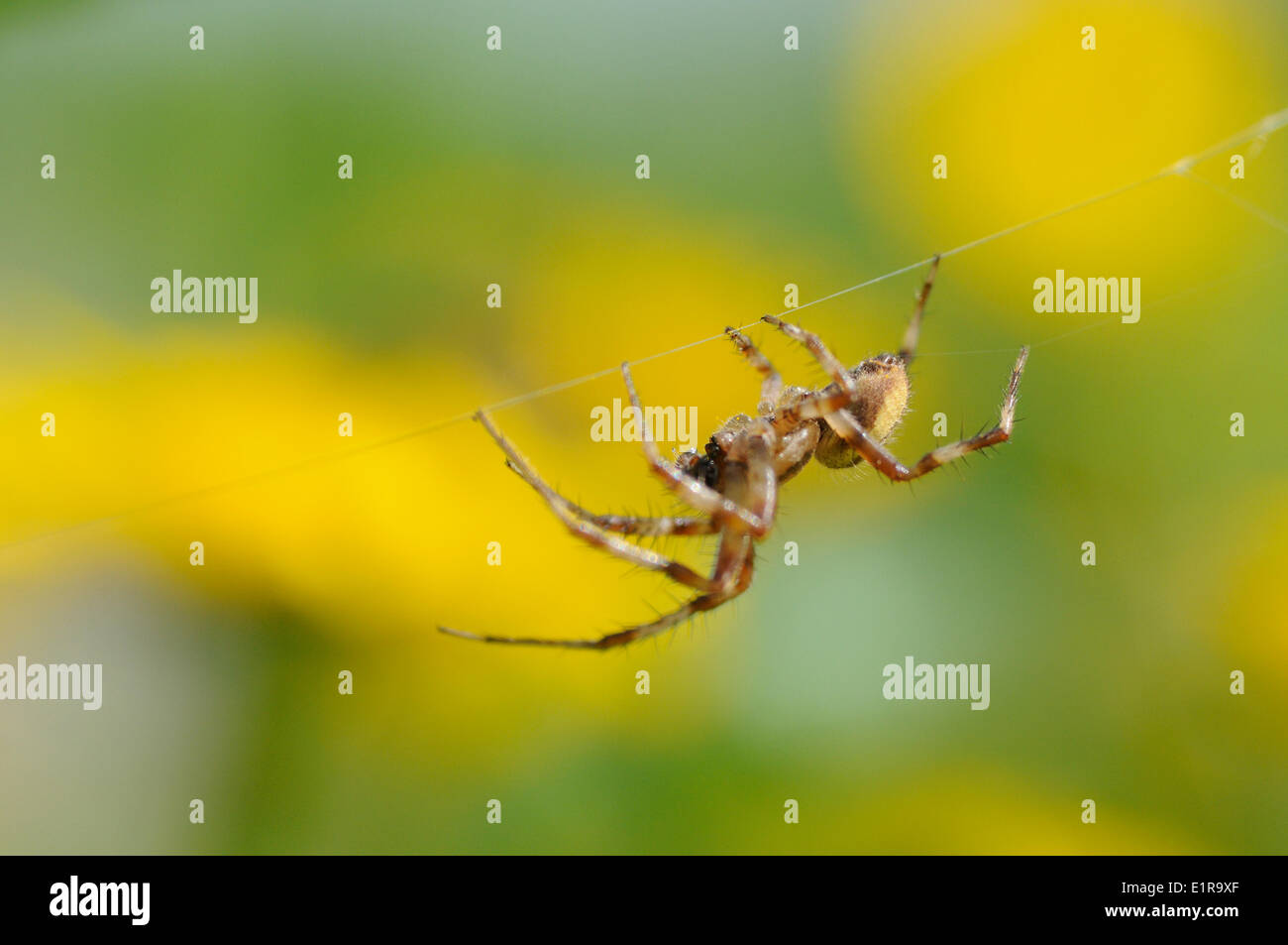 Male of the Spider Araneus quadratus perched in  web between Corn Marigold - Stock Image