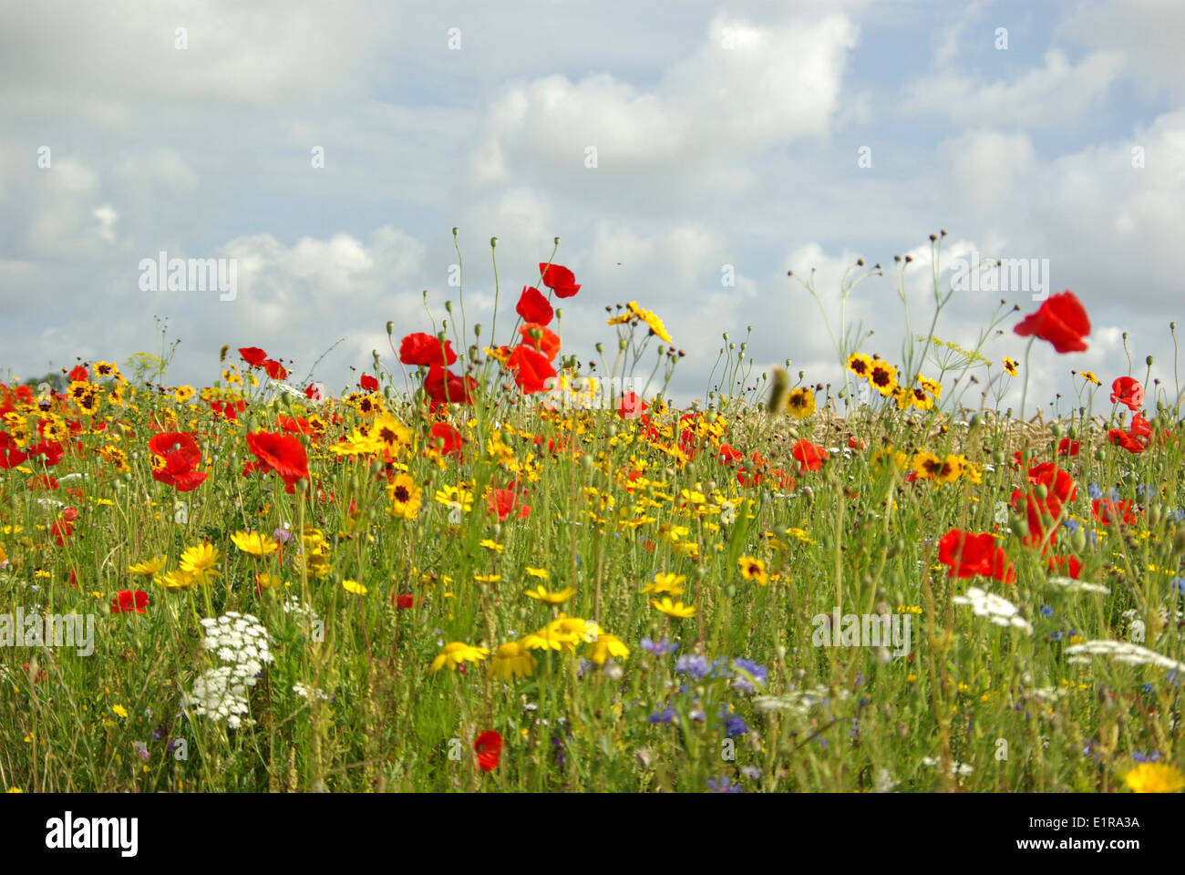 A Meadow With Different Kinds Of Wild Flowers Like Poppies German