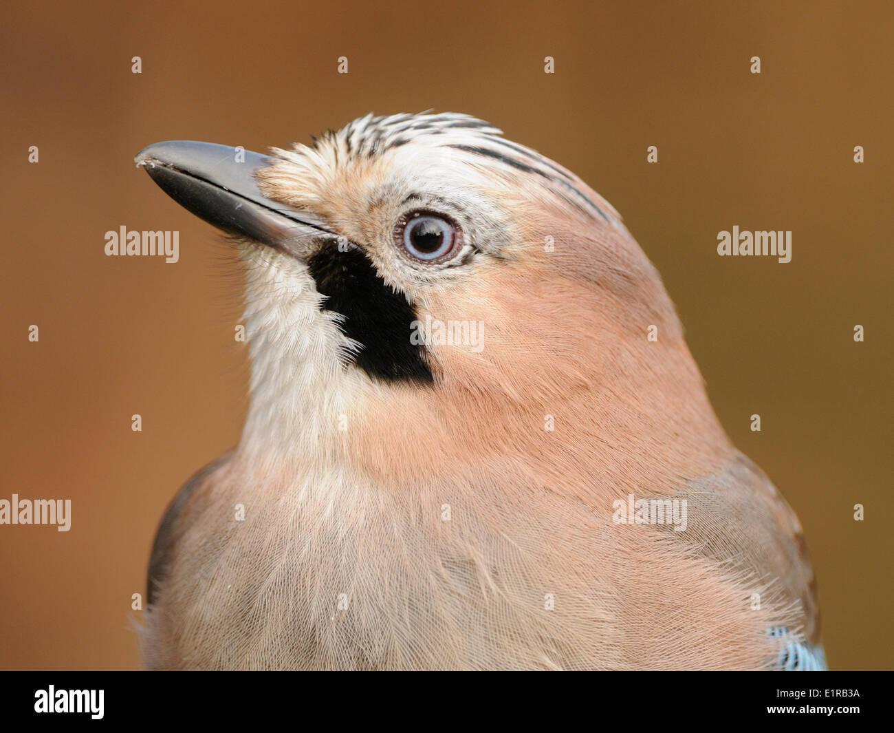 Headshot of a Jay - Stock Image