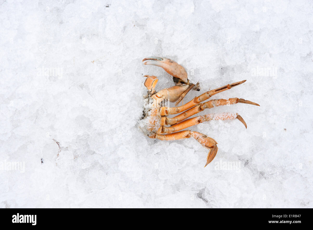 half a crab left behind by a bird on iceflows in the Dutch delta during winter - Stock Image