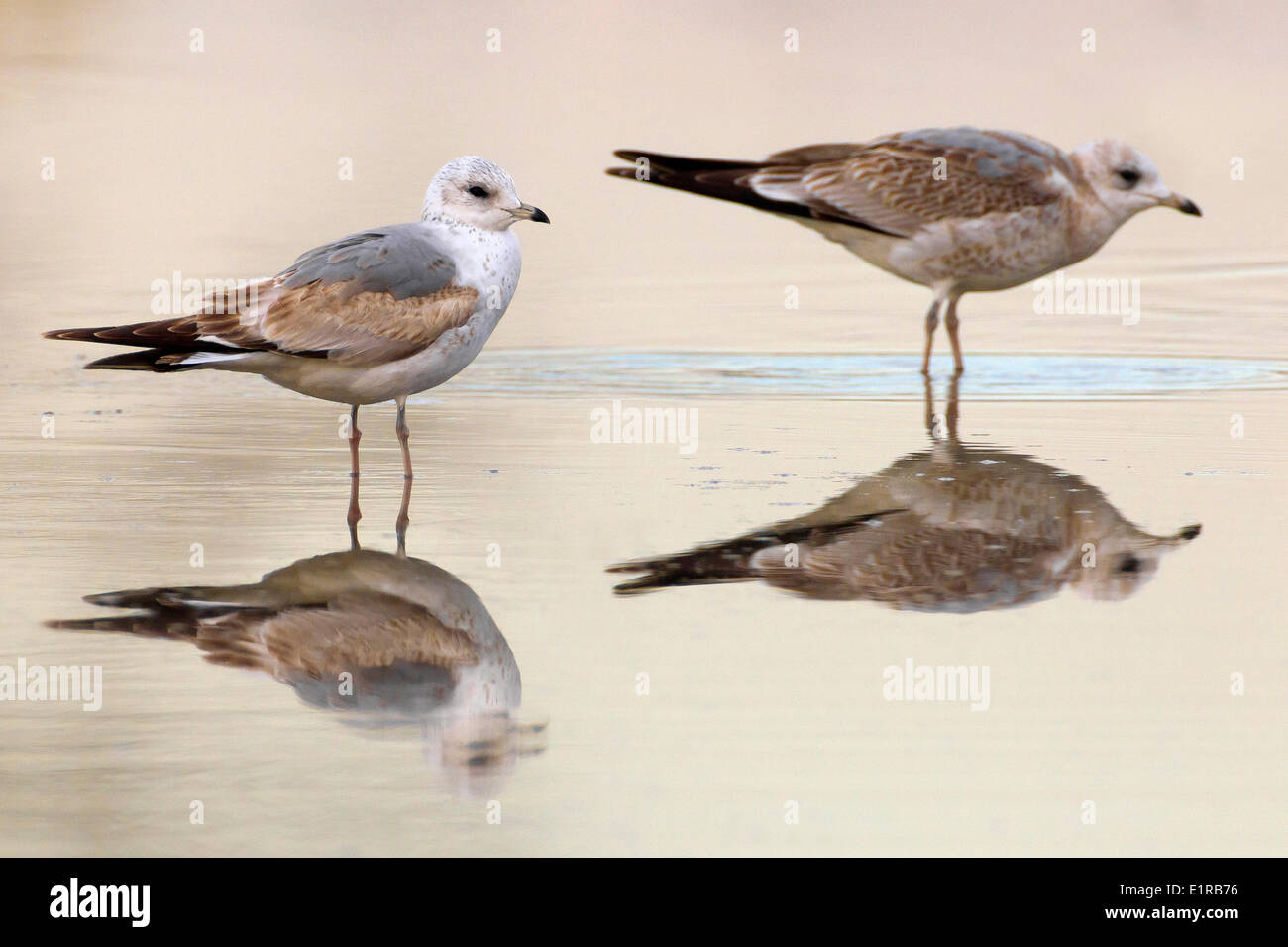 Two immature Commob Gulls in shallow water with reflection. - Stock Image