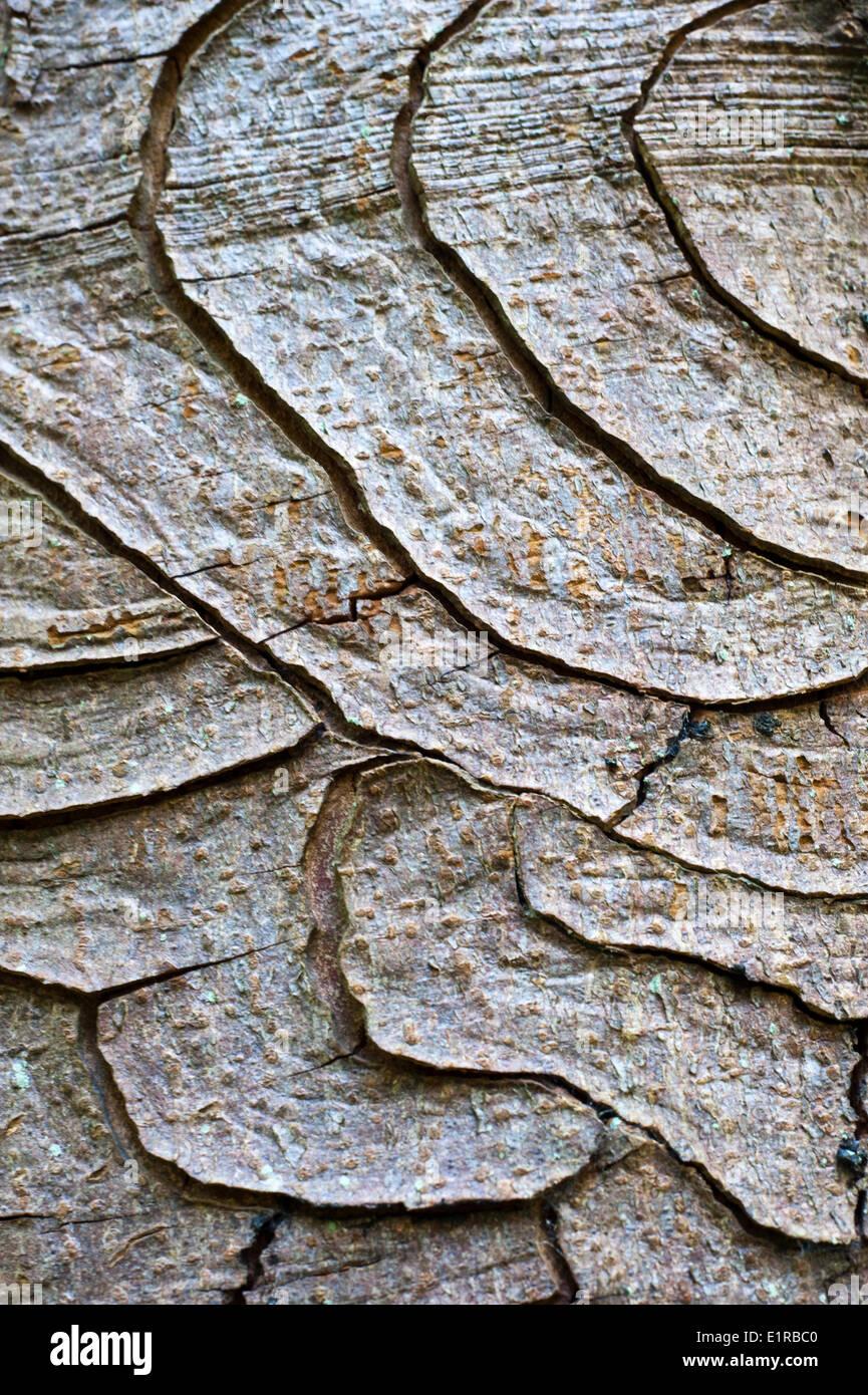 cracked bark of a diseased chestnut tree - Stock Image