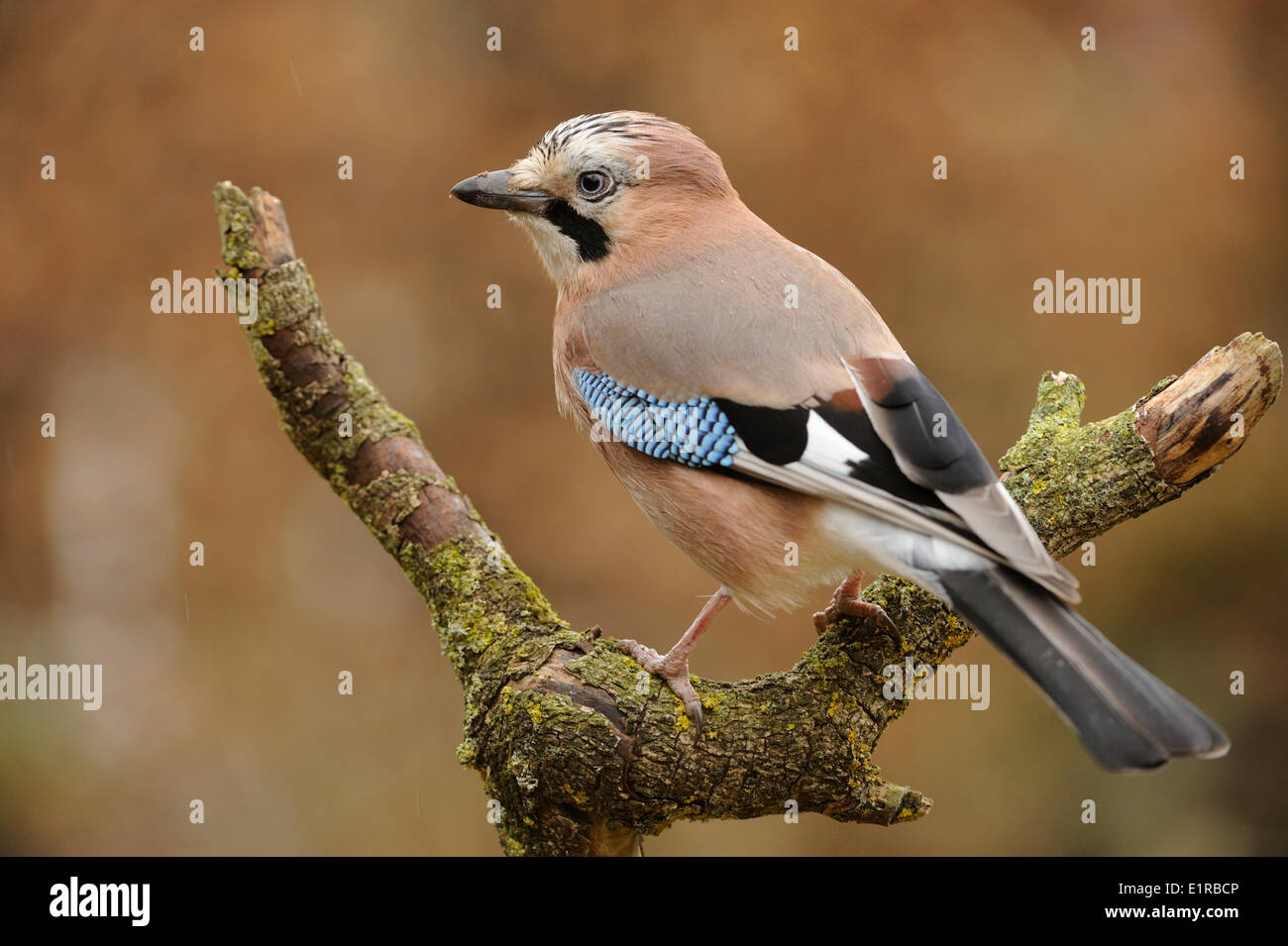 Jay perched on a branch - Stock Image