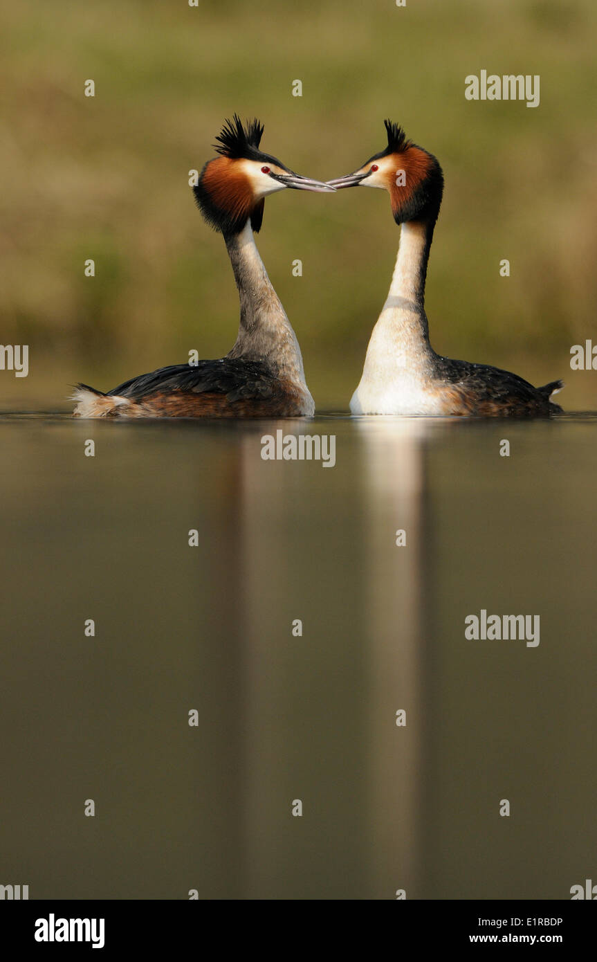 Displaying Great Crested Grebe - Stock Image
