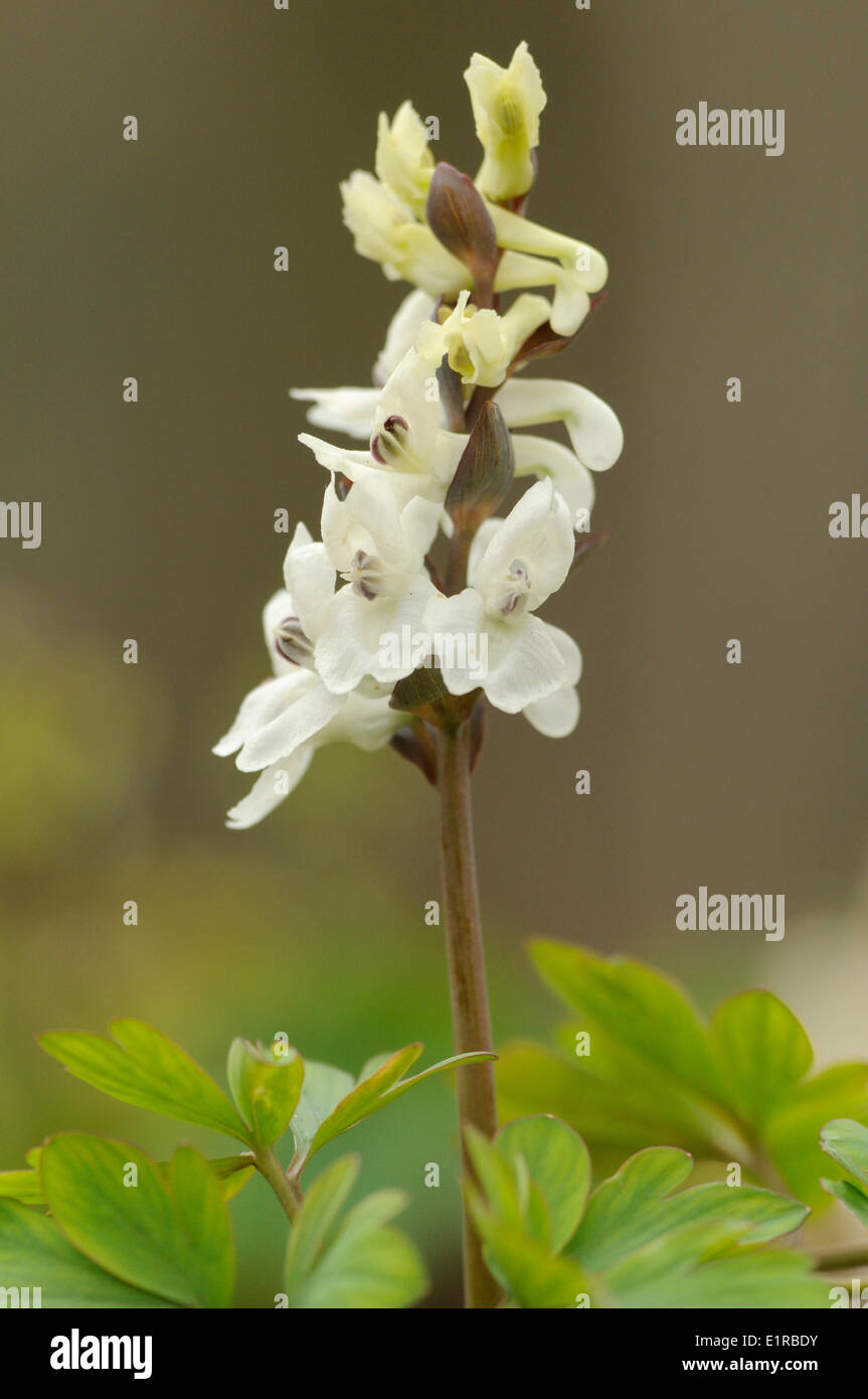 Flowering white Bulbous Corydalis on forest ground - Stock Image