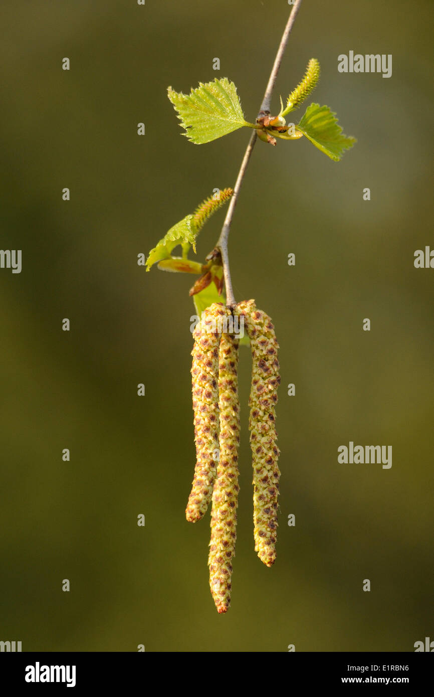 Flowering Silver Birch with the male inflorescence below and the female inflorescence separate with a higher pair of leaves. - Stock Image