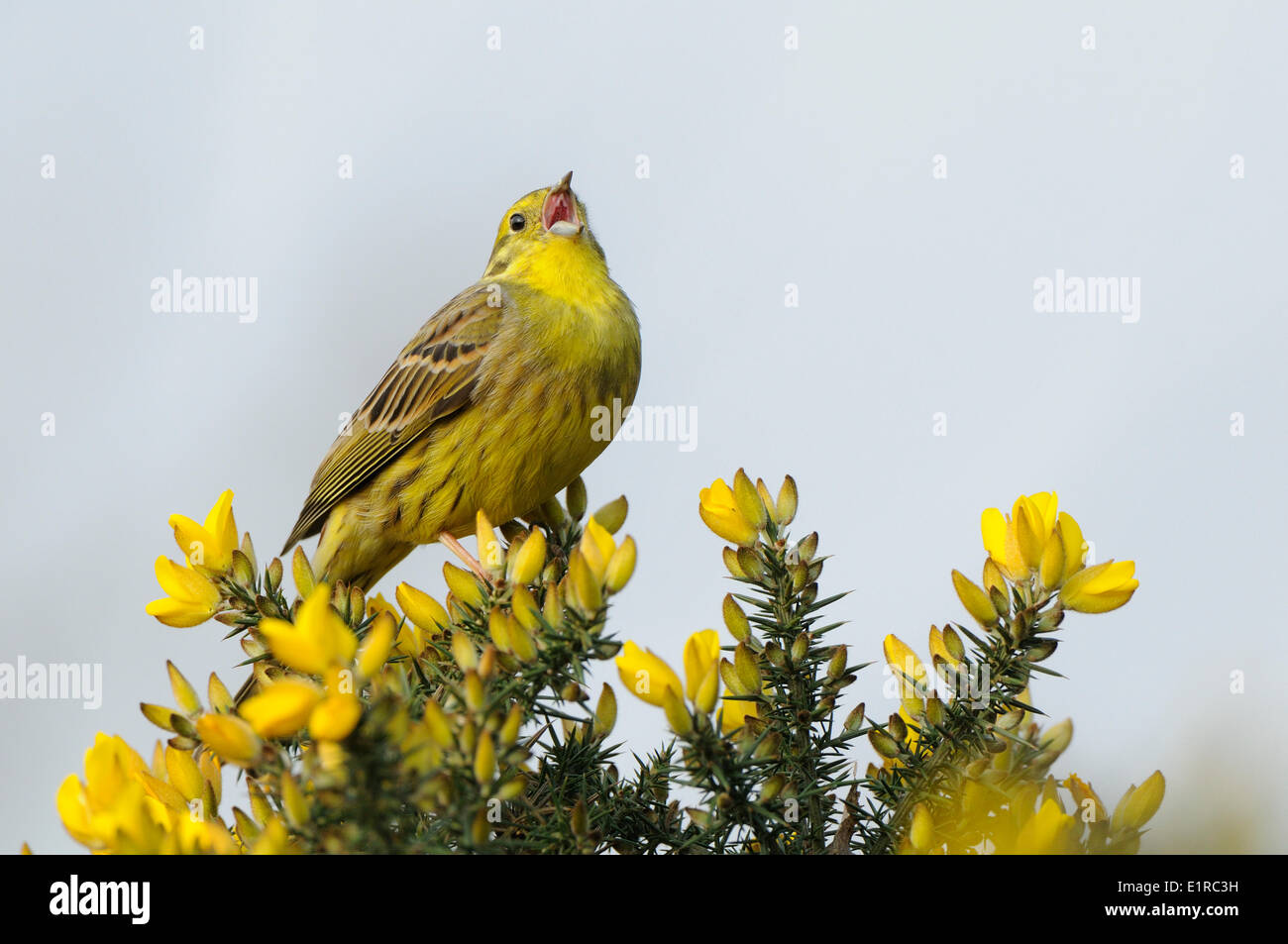 Yellowhammer singing while perched in flowering Common Gorse - Stock Image