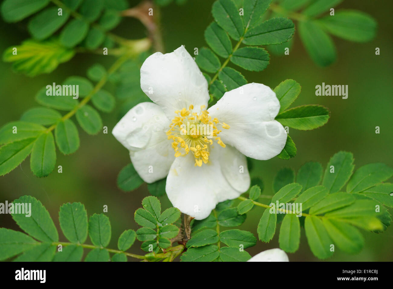 Flowering Whingthorn Rose with the exceptional wide thorns - Stock Image