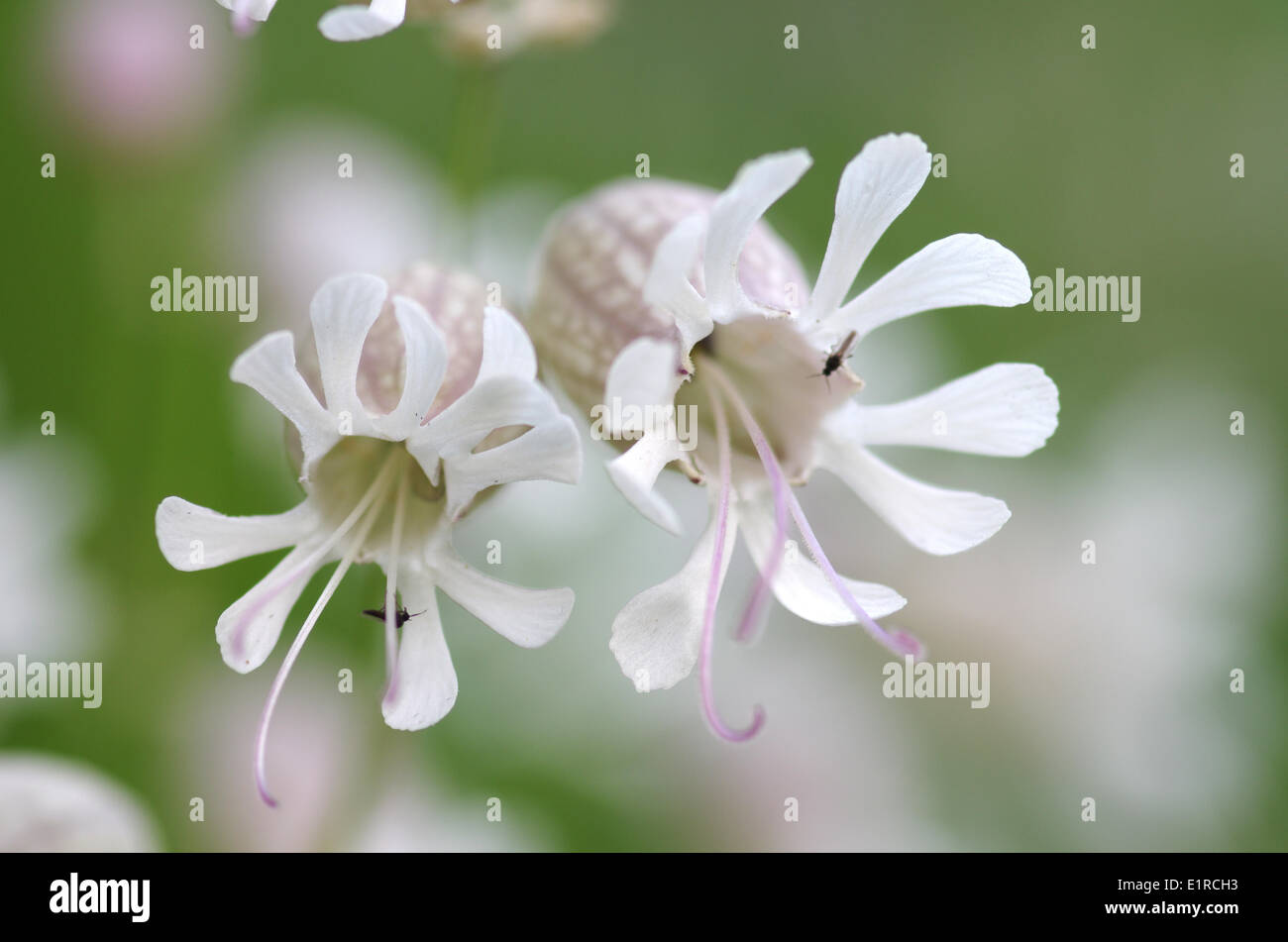 Close Up Of The Flowers Of The Bladder Campion Stock Photo 69970911