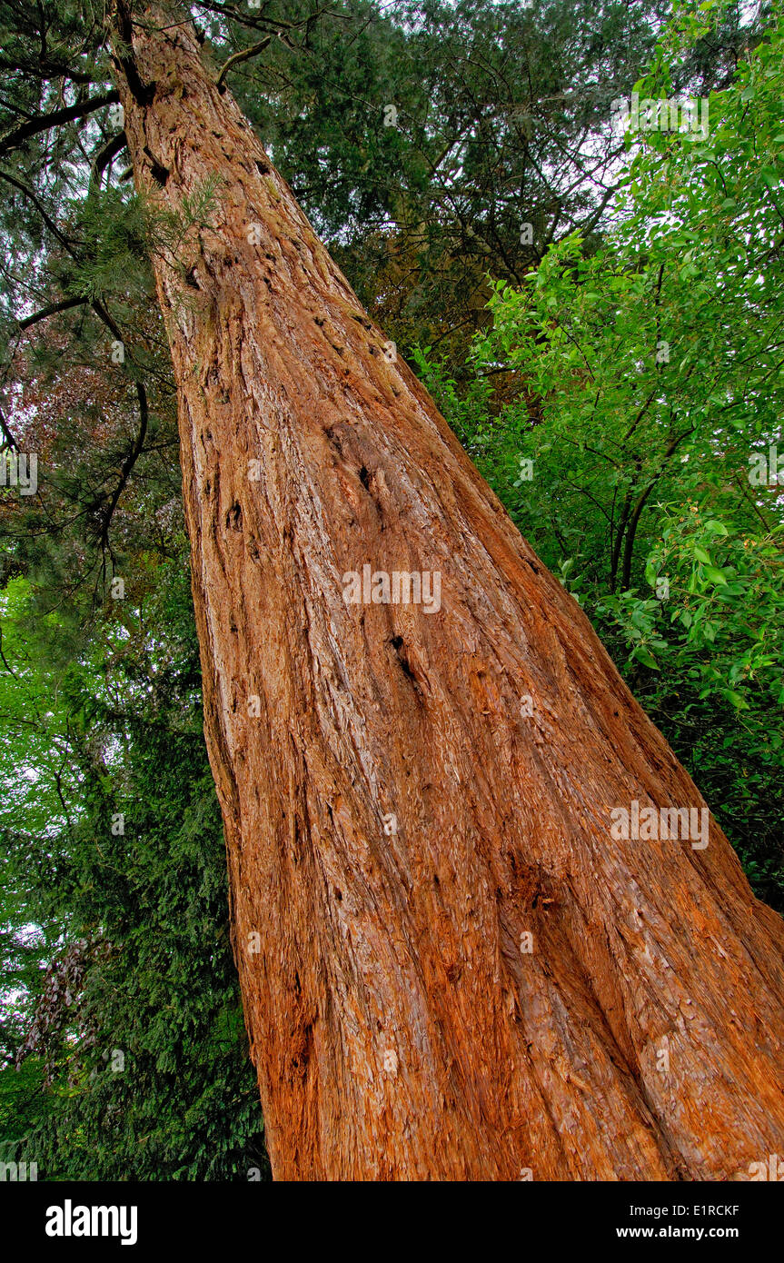 Trunk of a Giant Sequoia - Stock Image