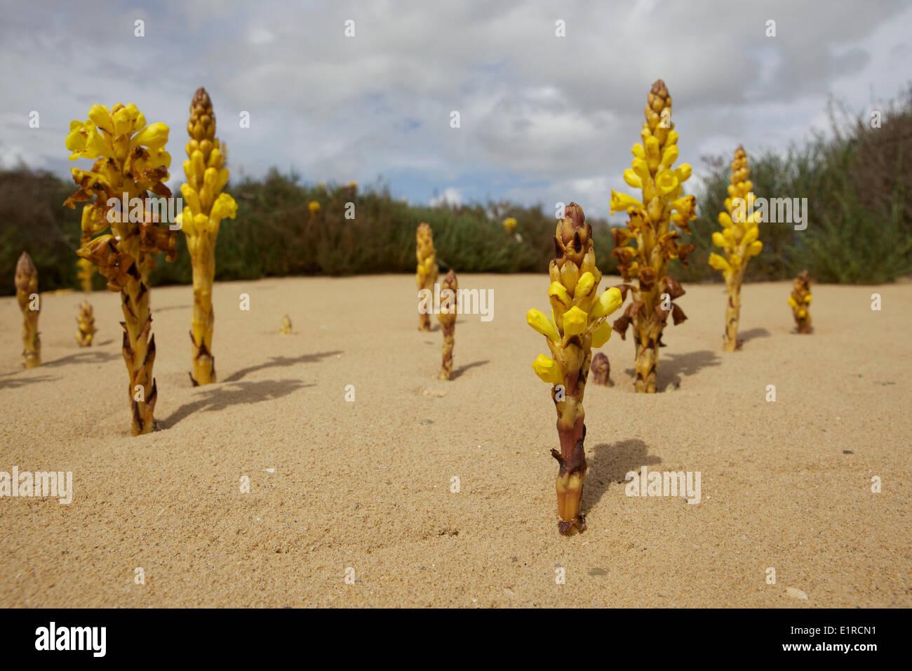 Yellow Broomrape a rare plant along the Mediterranean coast Stock Photo