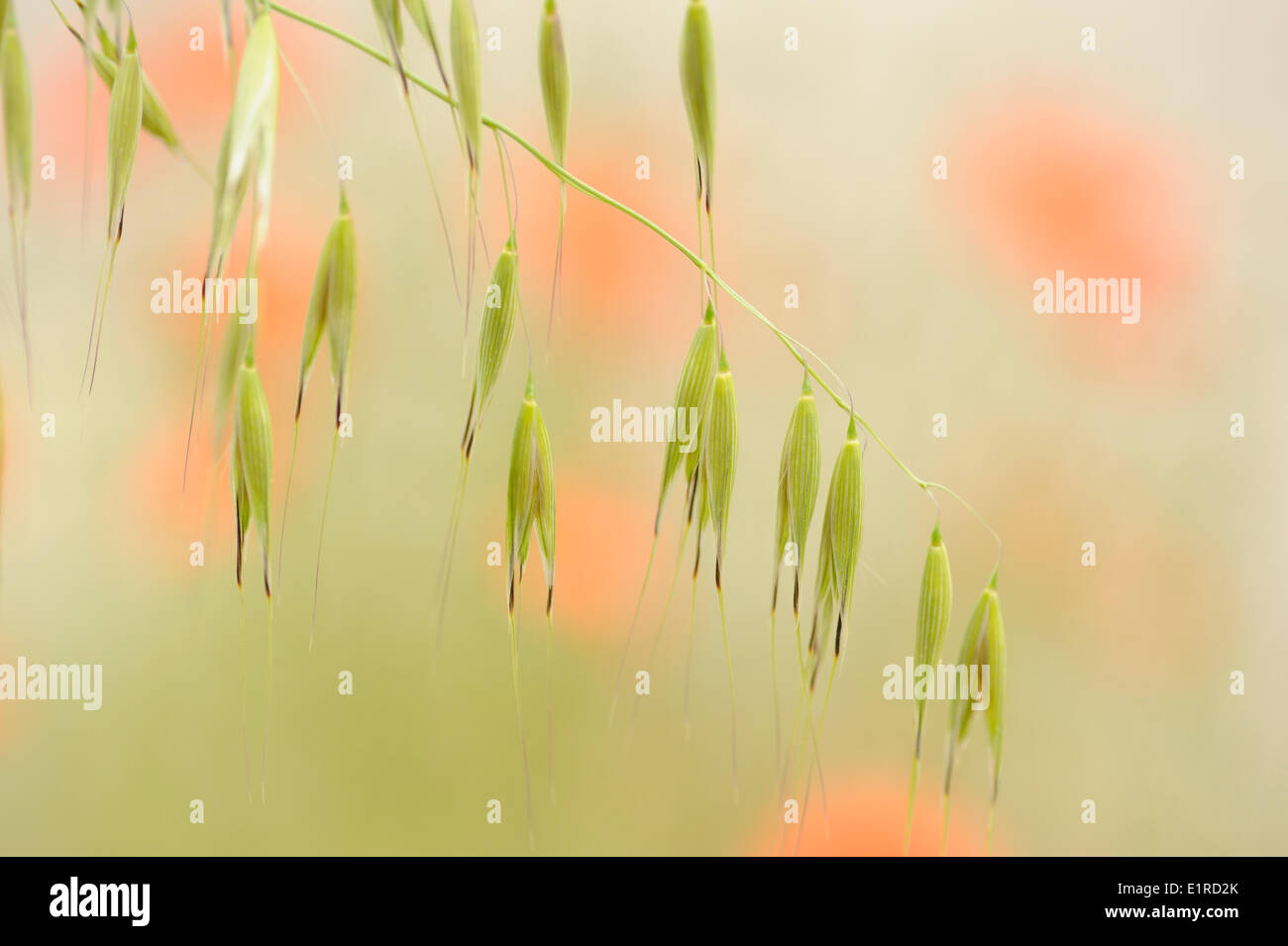 Flowering Wild Oat against a background of flowering poppies Stock Photo