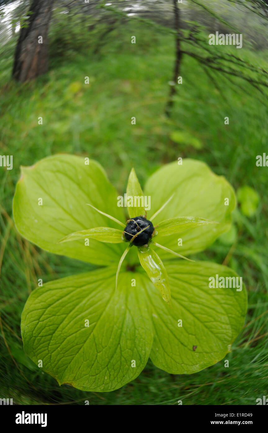 Wide angel view on a fruiting Herb-Paris in wet woodland - Stock Image