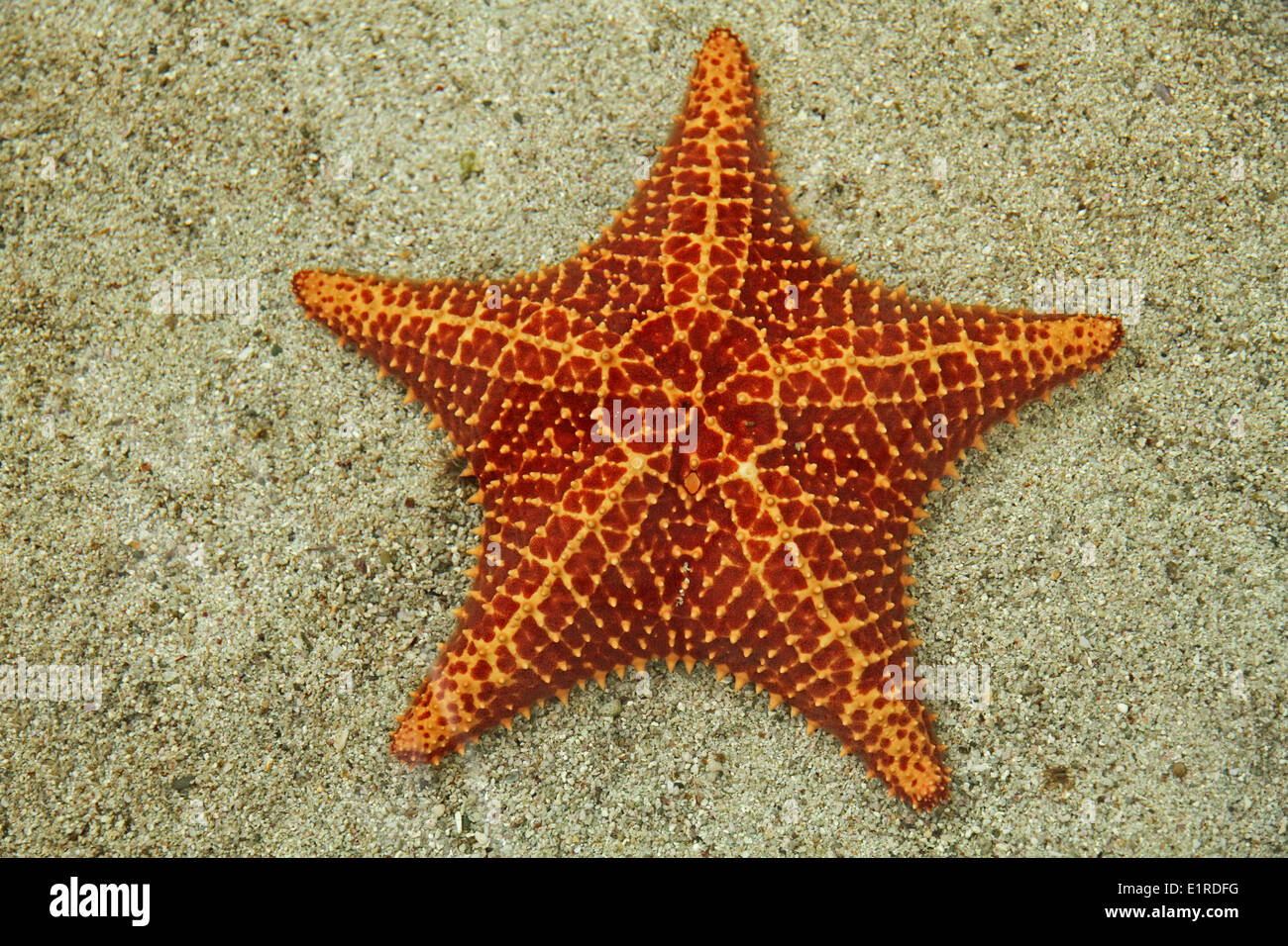 dorsal view of a red cushion sea star - Stock Image