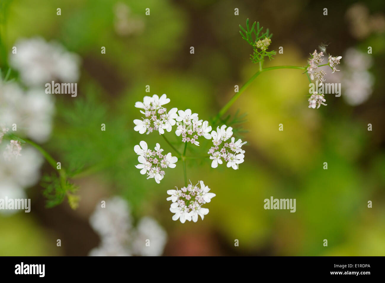 Flowering White Lace Flower Stock Photo