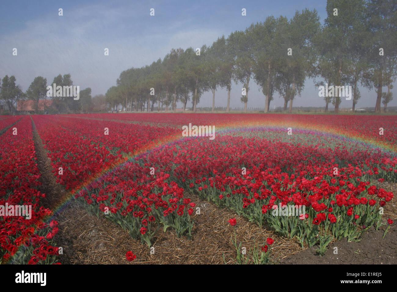 Rainbow on a red tulipfield Stock Photo