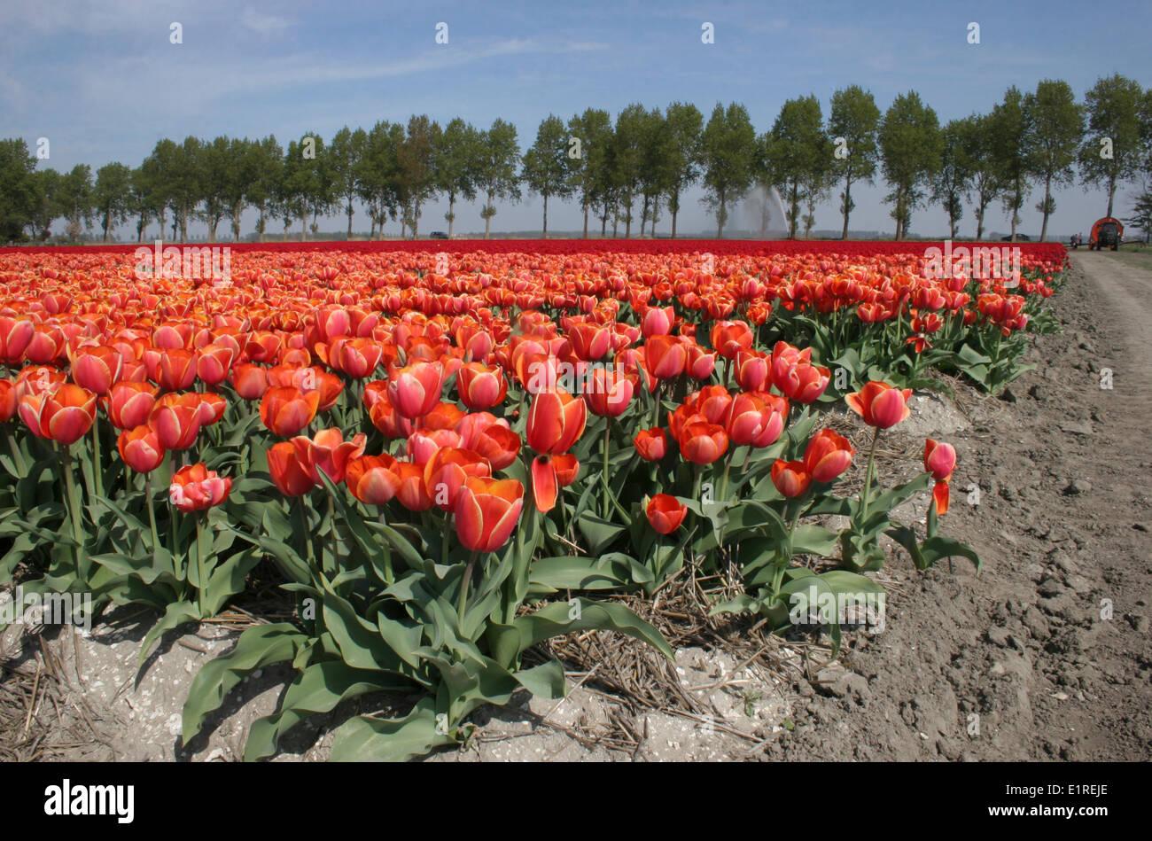 Orange tulipfield, corner composition Stock Photo