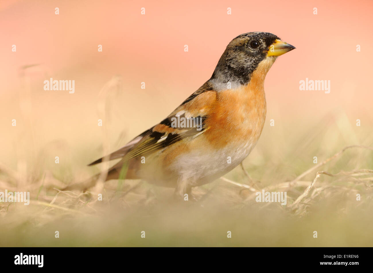 Brambling foraging on the ground - Stock Image
