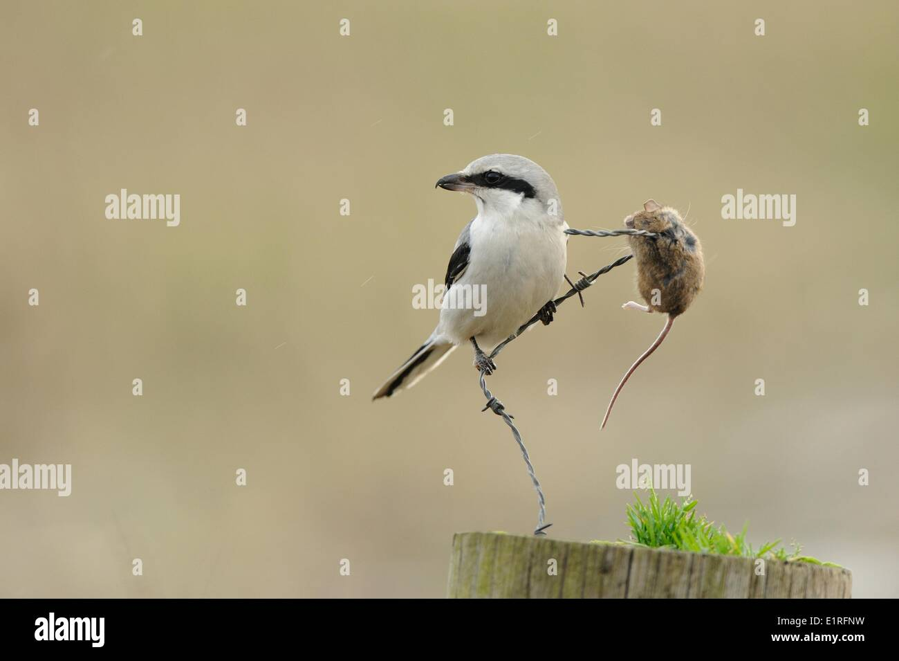 Great Grey Shrike feeding on mouse spiked on barbed wire - Stock Image