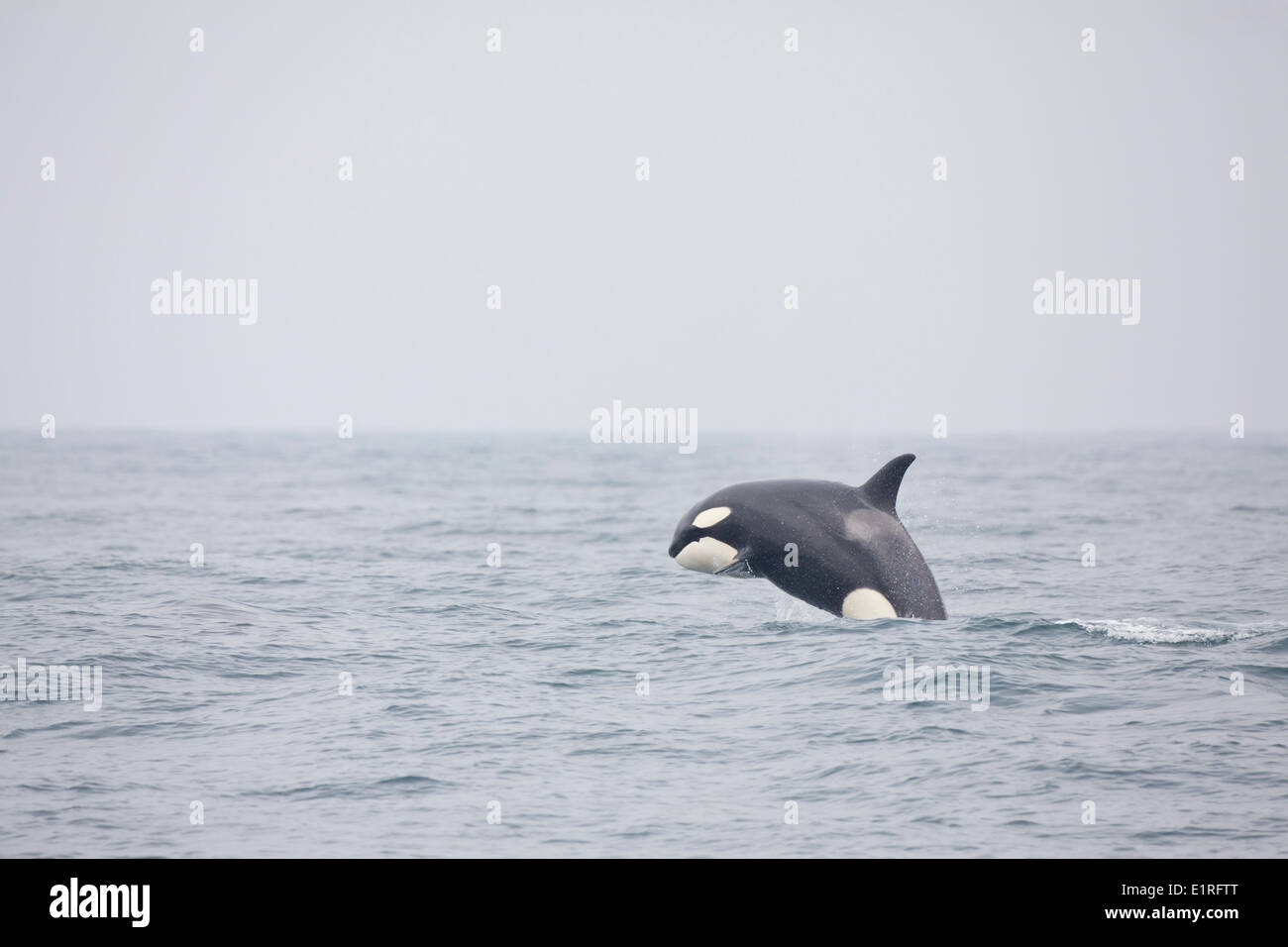 Breaching Orca Stock Photo