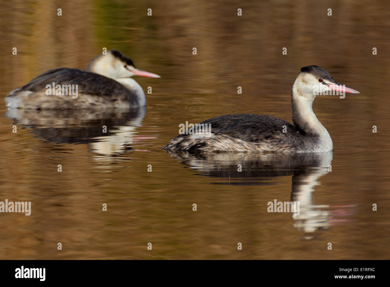 Two Great Crested Grebes in non-breeding plumage on dark water - Stock Image