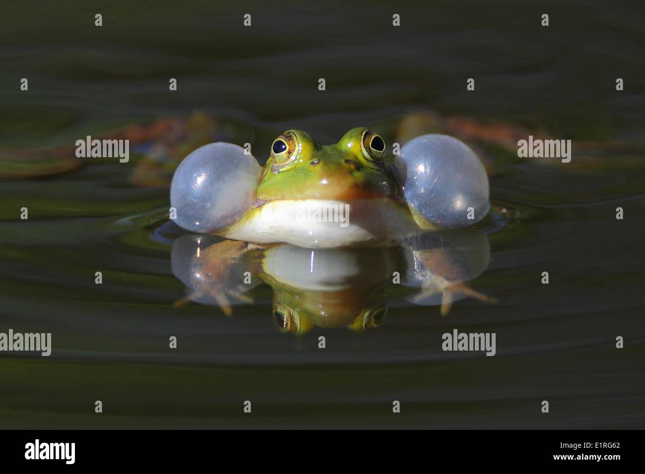 croaking male frog - Stock Image