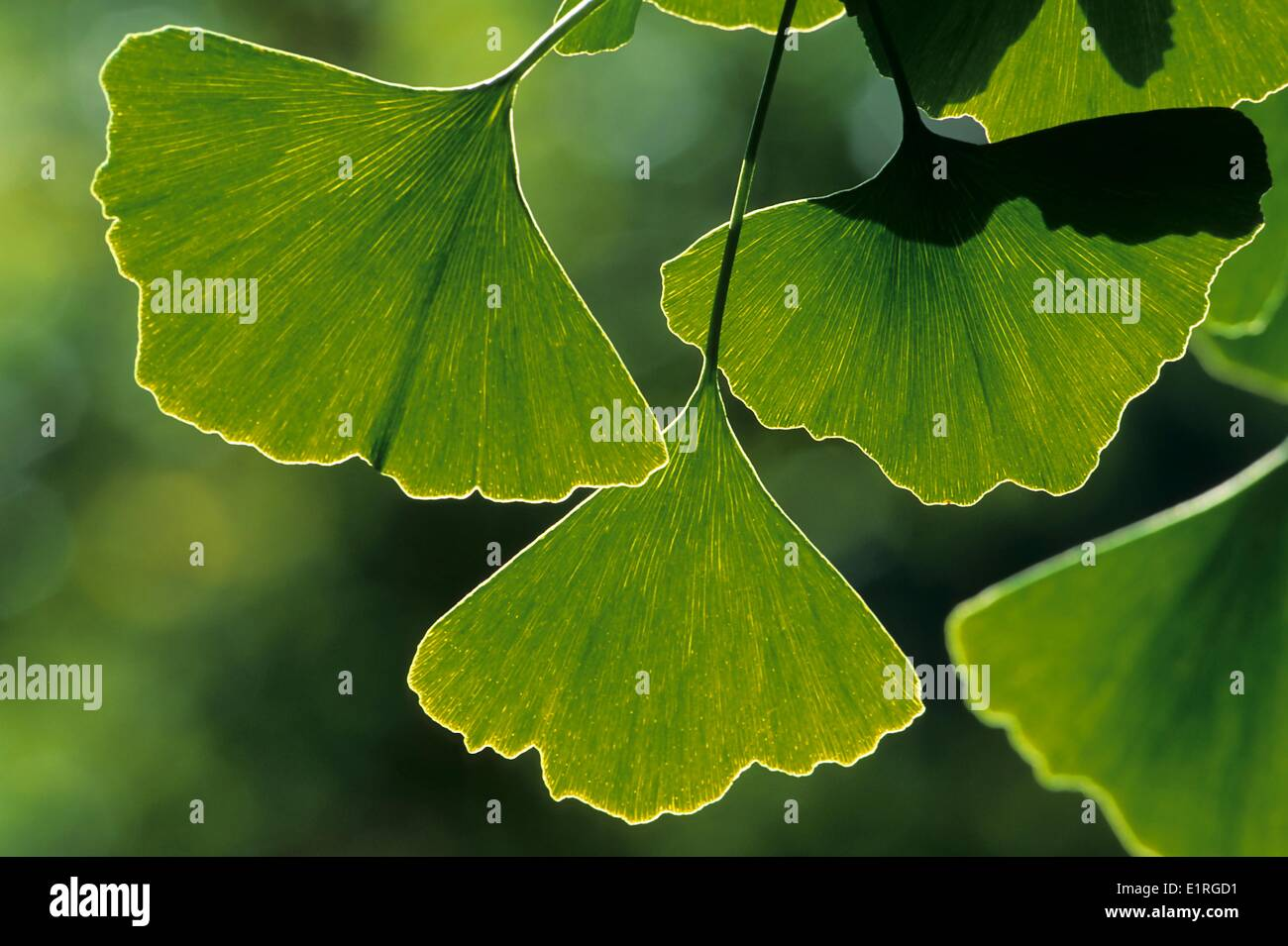 Gingko leaves in close-up - Stock Image