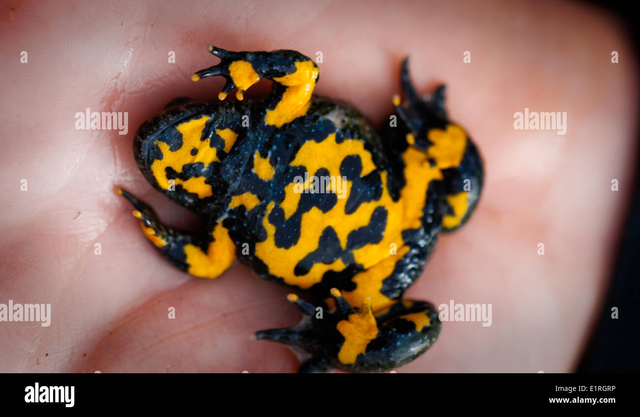 Yellow-bellied toads have individually differing markings on their belly - Stock Image